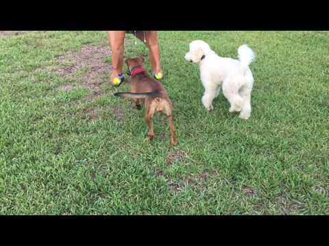 "8 month old Goldendoodle ""Lola"" | Port Saint Lucie Dog Trainer | Obedience"