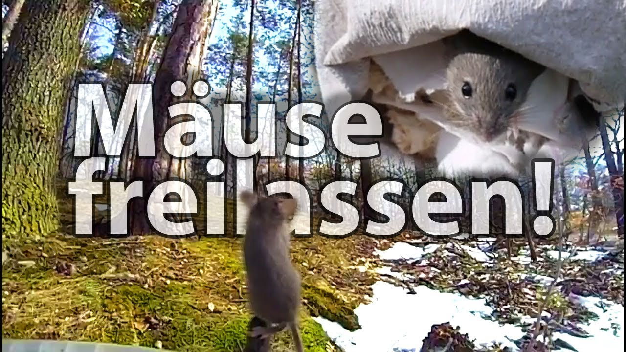 Mause Lebend Fangen Und Freilassen Catch Mice Alive And Set Them Free In The Woods Youtube