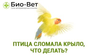 Птица сломала крыло, что делать? Травмы крыльев у попугаев