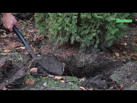Удивительно! Супер метод! Как просто пересадить большое дерево! Без ущерба.