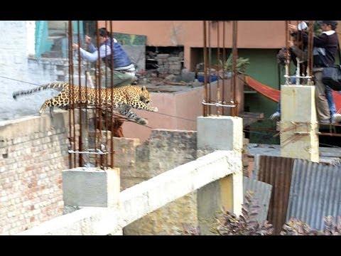 CCTV captures leopard moving in market - Meerut