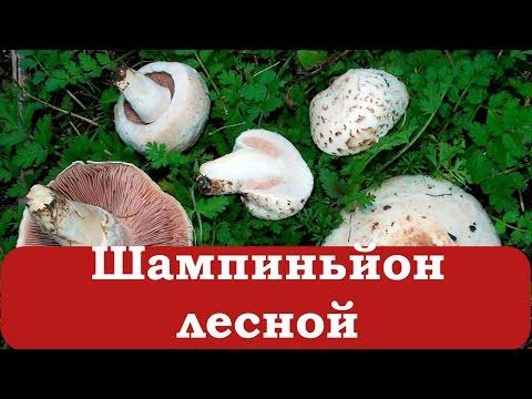 Бледная поганка и ее съедобные грибы-двойники