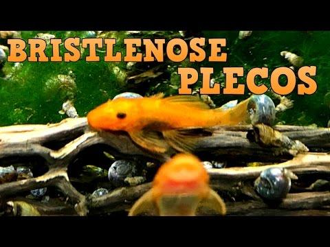 Bristlenose Plecos!!! Keeping, Feeding, Breeding