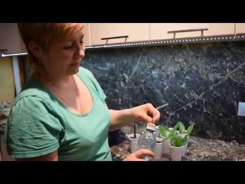 Размножение фикусов Комнатные растения и цветы Floretsru