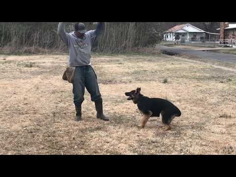 training-a-puppy...leash,obedience,protection(aries)-day-2