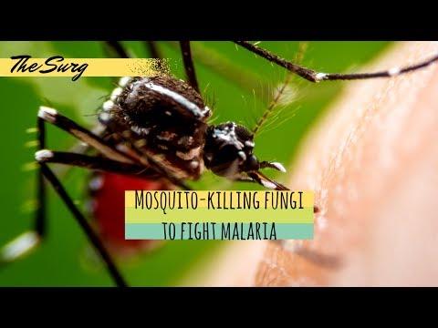 Mosquito-killing fungi engineered to fight malaria