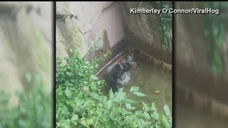 Gorilla drags child through enclosure in Cincinnati