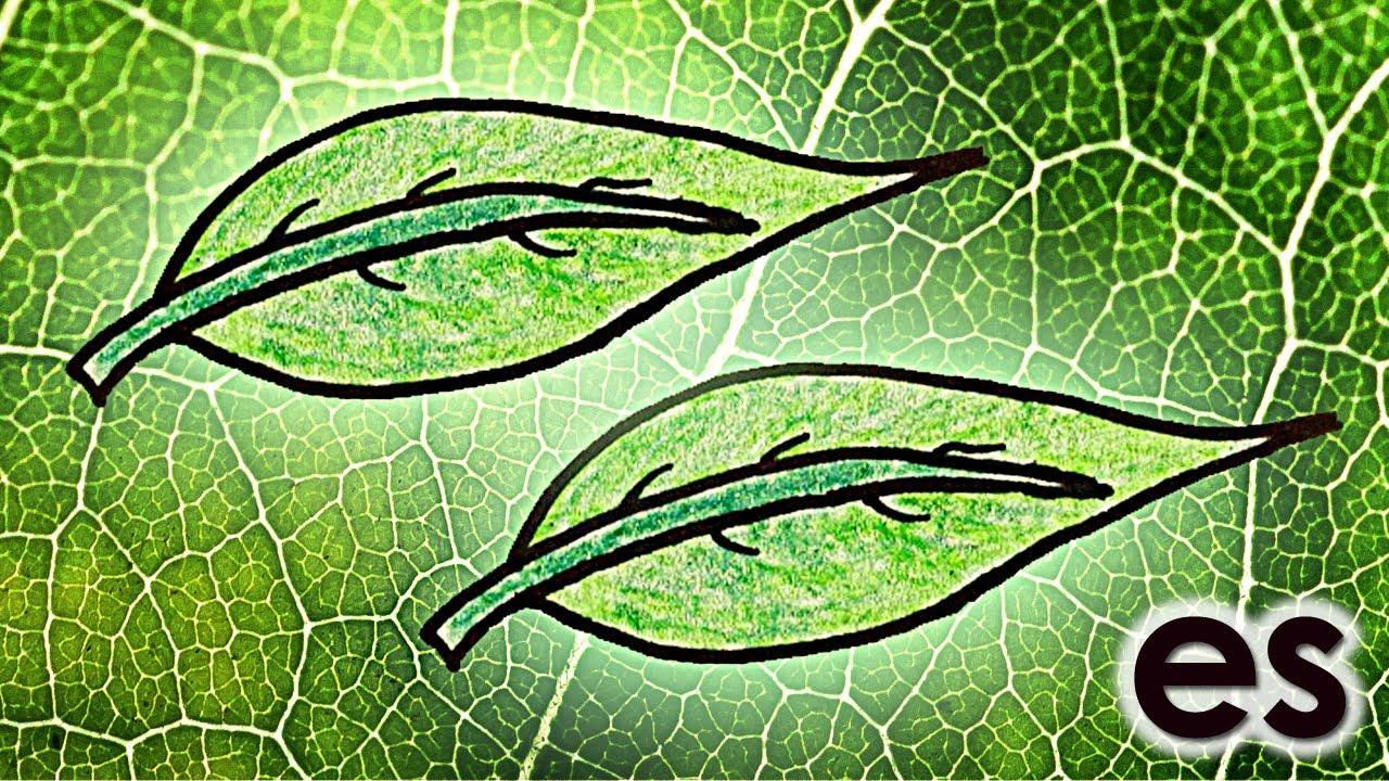 Por qué las hojas son verdes? Parte 2 - YouTube