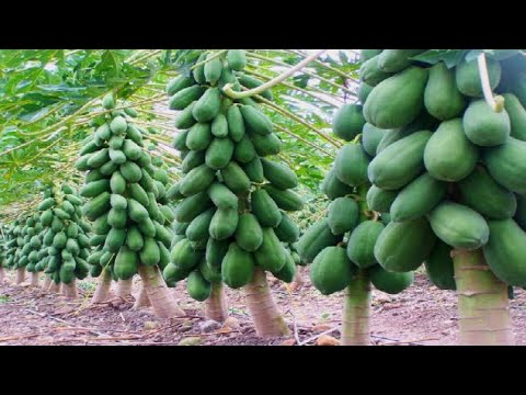 The Success Story Of Papaya Farming Youtube