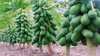 Best Papaya Farming Right way in India