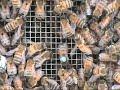 Honey Bee Dance Language