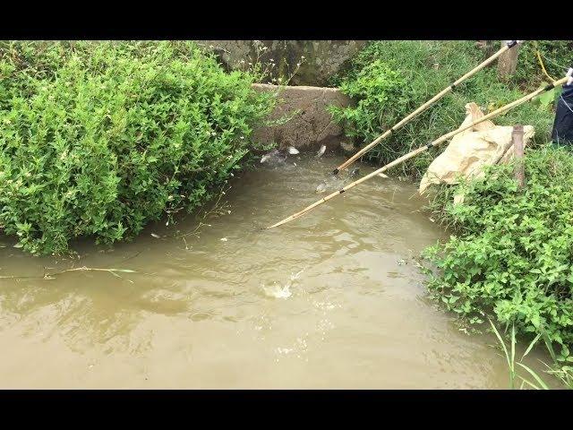 Sau Cơn Mưa Rào Ra Đồng Kích Điện Bắt Cá Lóc
