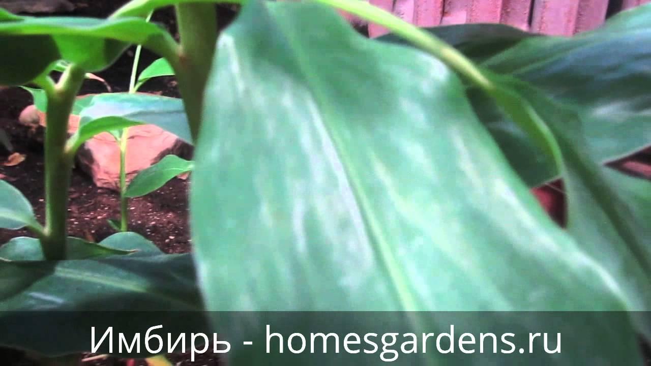 Имбирь — выращивание в домашних условиях, как сажать, где и как растет имбирь, видео