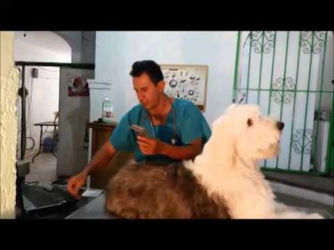 Corte de pelo de viejo pastor ingles