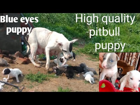 Pitbull Puppy Are Available.XXL(High Quality)#Pitbull Blue Eyes Puppy