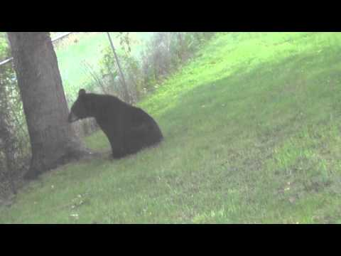 Unexpected Bear in My Yard Gets Harrassed by 3 Dogs then Chased by Bird
