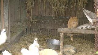 3:30 太郎(雄猫1歳1ヶ月)が猫同士の喧嘩に追われて鶏小屋の中に隠れて、...