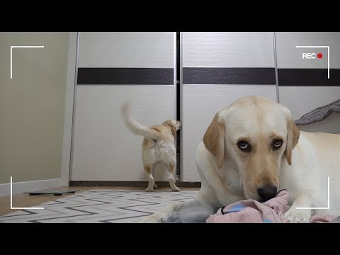 ENG SUB _ Funny Dog Reaction The Dog that Steals from Your Closet * I put my camera...and..SHOCK...! from YouTube · Duration:  5 minutes 50 seconds