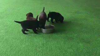 彩ぱぴ♪ 【日本で唯一のチョコラブ・黒ラブ専門犬舎 Mother Planet Kenn...