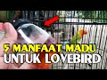 Manfaat Madu Untuk Lovebird  Mp3 - Mp4 Download