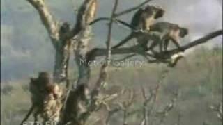 Jive Ass Monkey