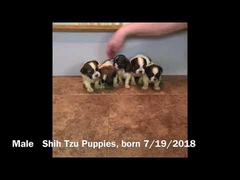 Male Shih Tzu Puppies