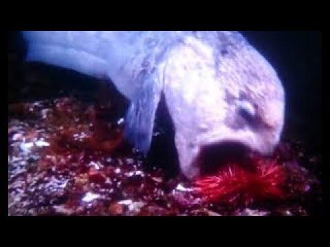 恐ろしいオオカミウオがウニや硬い甲羅のカニをバリバリと食べる捕食映像