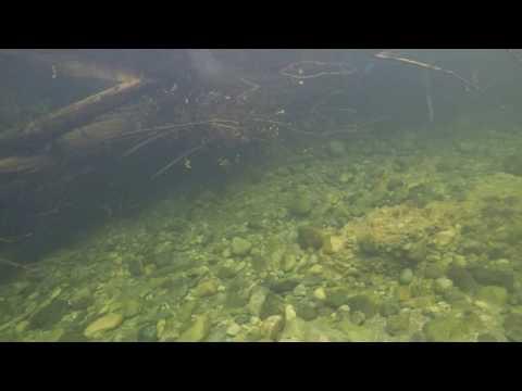 Sea Run Cutthroat Trout