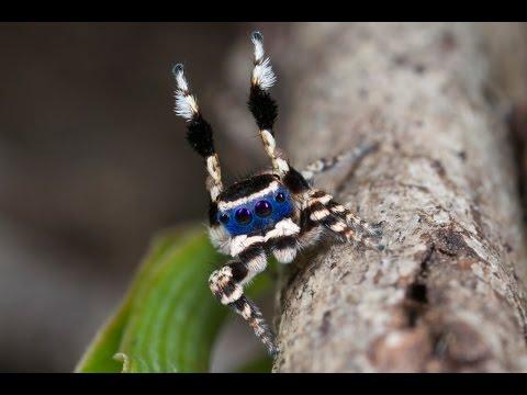 Peacock Spider 13 (Maratus personatus)