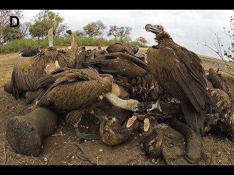 Man eater - Indian Vulture - All about Wildlife