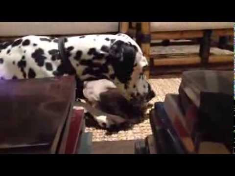 Dalmatian dog and Burmese kitten playing