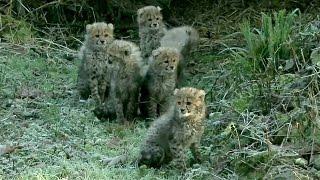 Нидерланды: в зоопарке дебютировали сразу шесть детёнышей гепарда (новости)