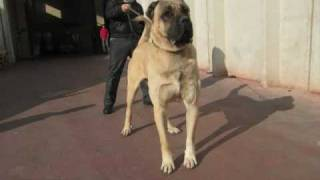 BIG DOG KANGAL