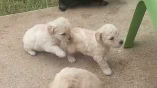Happy Yappy Schnoodles Playing