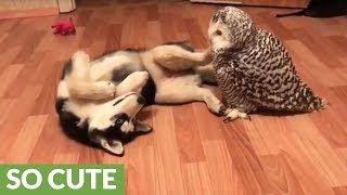 Husky and owl best friends chill out together