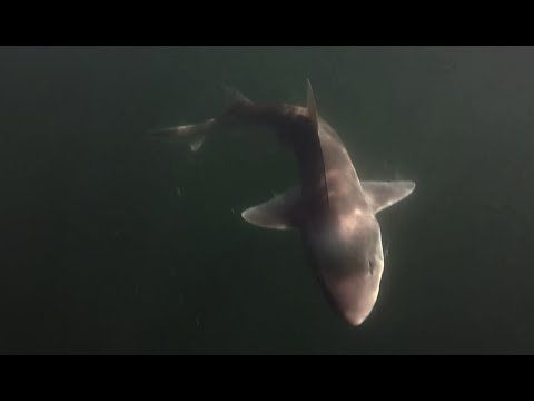 HUGE Shark caught fishing in the Long Island Sound!!!