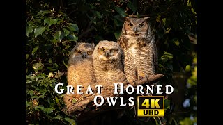 Great Horned Owls of Pennsylvania 2020 in 4K