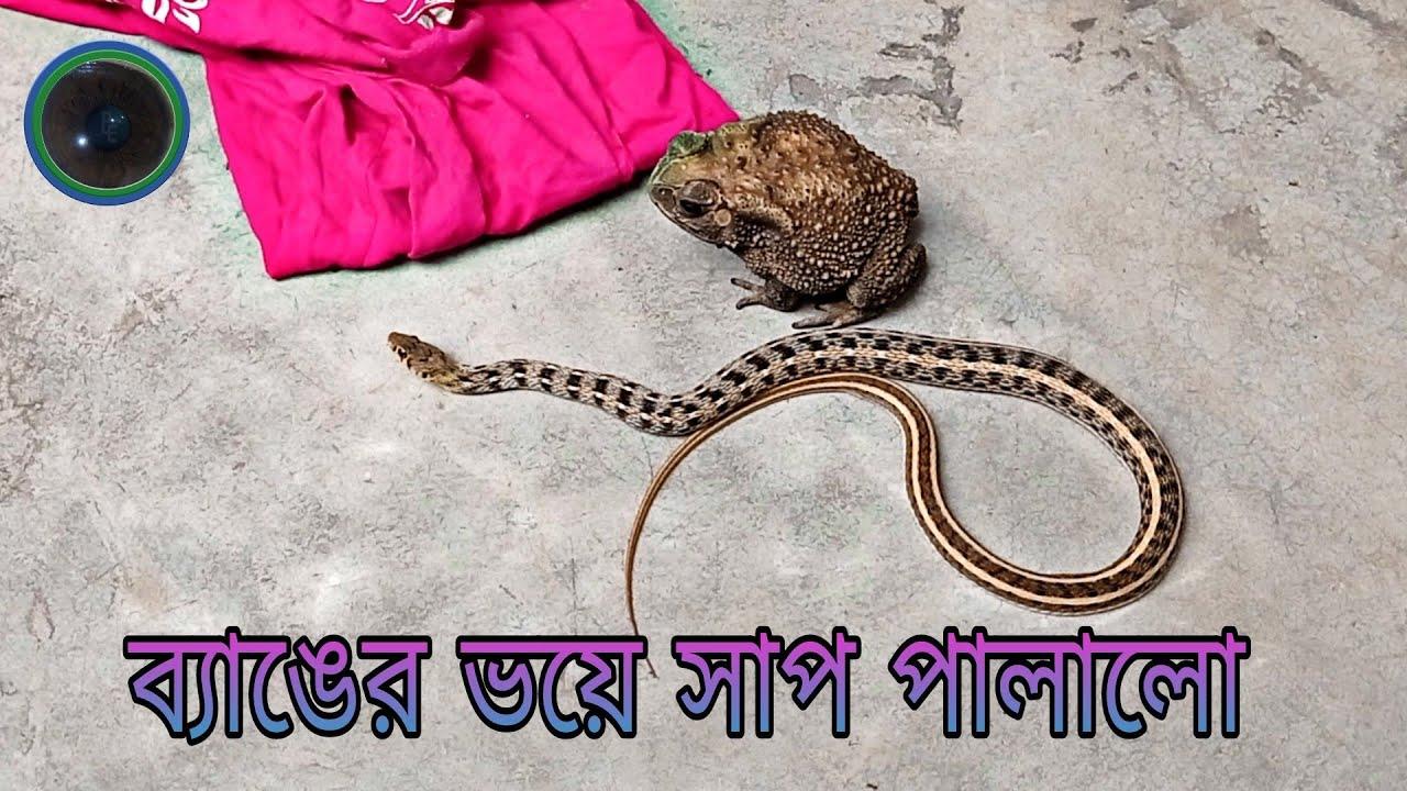 ব্যাঙের ভয়ে সাপ পালালো    The Snake escaped in fear of the Frog.