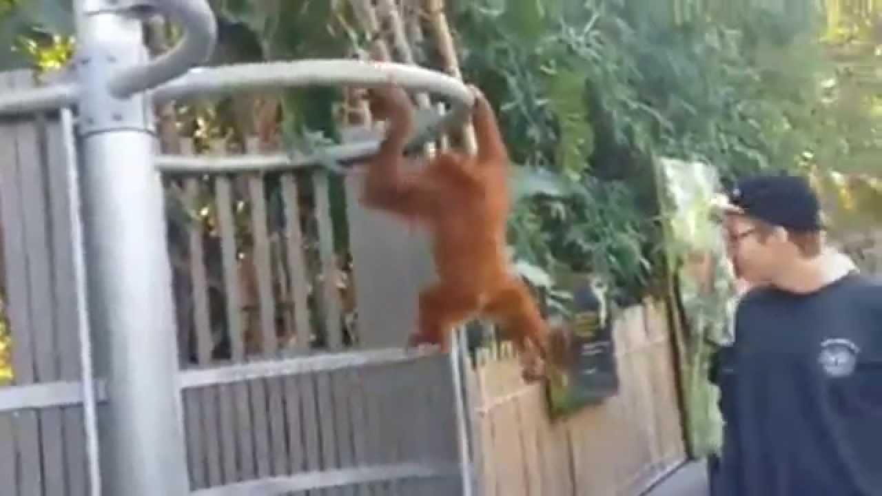 orangutan sparks major security threat at perth zoo youtube orangutan and hound dog 2015 orangutan and hound dog 2015