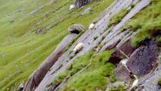 Sheep falling thumbnail