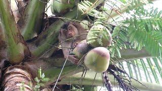 Monyet pintar memetik buah kelapa