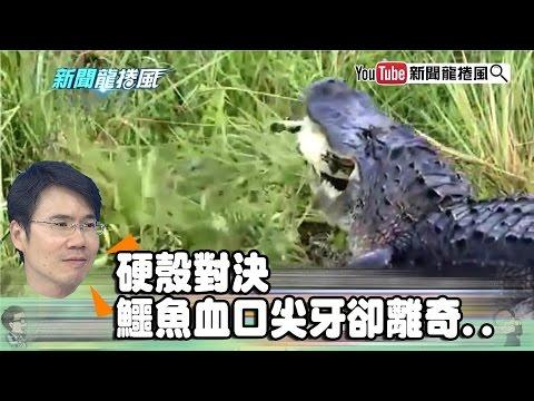 《潘彥宏》烏龜怕鐵鎚 硬殼對決鱷魚血口尖牙卻離奇..