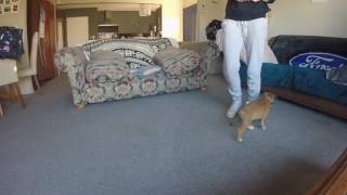 Puppy Training - 9 week old Staffordshire Bull Terrier