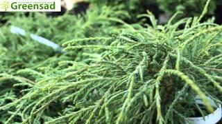 """Кипарисовик горохоплодный """"Filifera Nana"""" - видео-обзор от Greensad"""