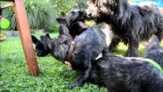 Cairn Terrier Vom Stromerhof   B Wurf 2015   9  Woche