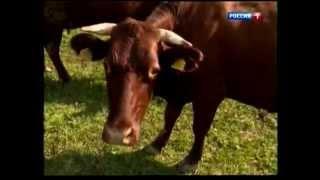 видео Шотландская корова: описание высокогорной породы, фото