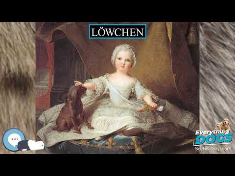 Löwchen  Everything Dogs