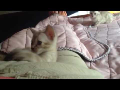 Potter Snow Bengal kitten