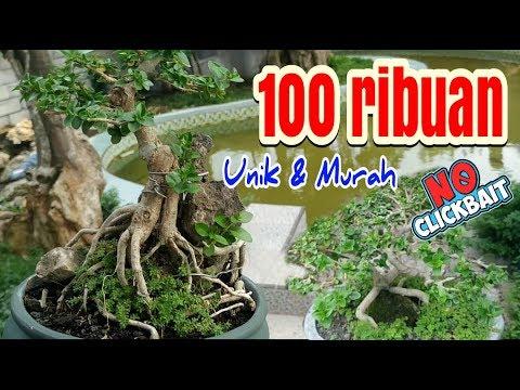 Bonsai Mini Sancang Dulu Harga 100 Ribuan Murah Unik Sekarang Jadi Mahal