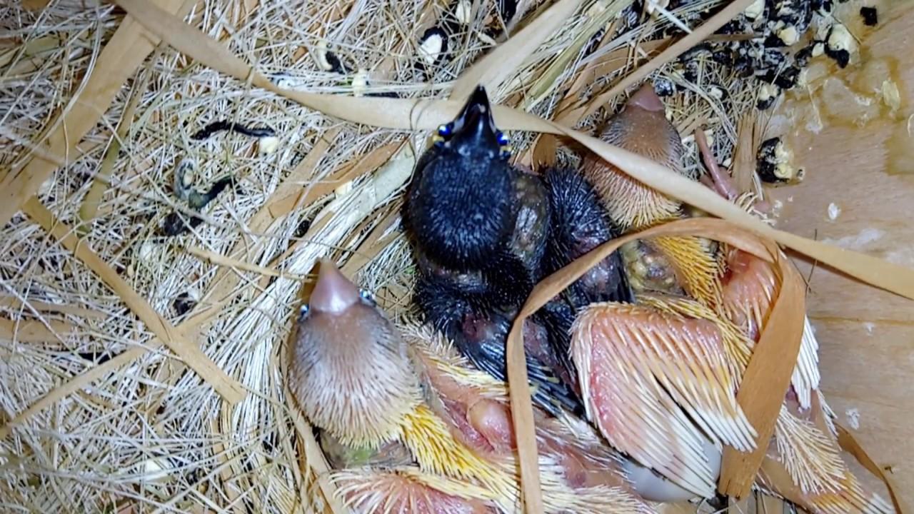 Как сделать гнездо для амадинов фото 290
